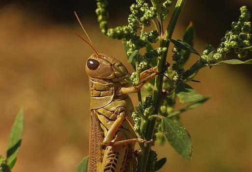 Billy  Griffis Jr - Grasshopper