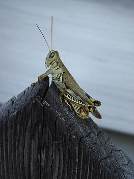 Grasshopper by Kelli Uysaloglu