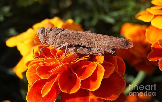 Grasshopper on orange marigold by Susan Montgomery