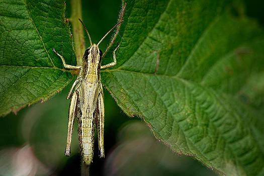 Zoran Buletic - Grasshopper
