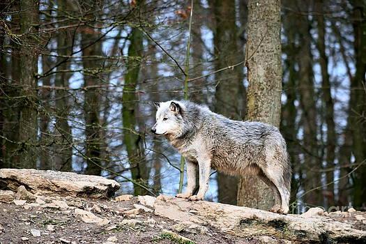 Grauwolf by Karin Sigwarth