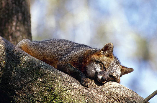 Gray Fox In Tree by Millard H. Sharp