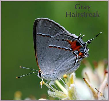 Gray Hairstreak by April Wietrecki Green