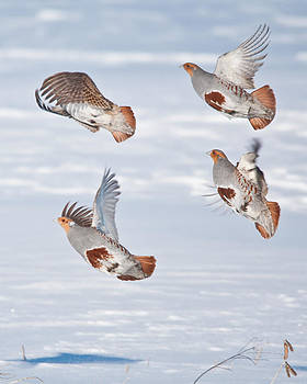 Gray Partridge by Daniel Forget