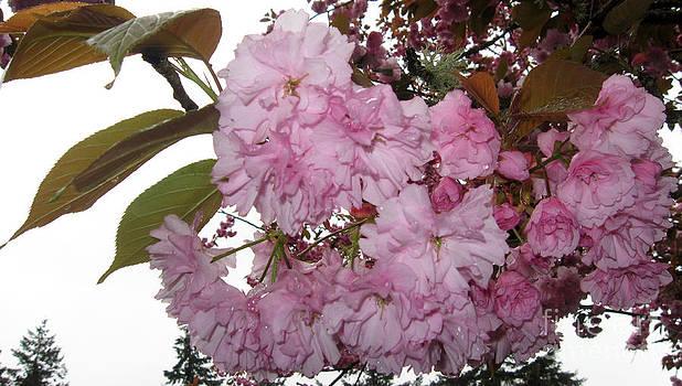 Ellen Miffitt - Gray skies and Flowering Cherry Blossoms