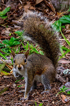 Gray Squirell by Adrian Arceci