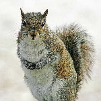 Gray Squirrel by Cindi Ressler