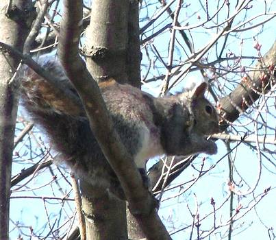 Gail Matthews - Gray Squirrel Nibbling