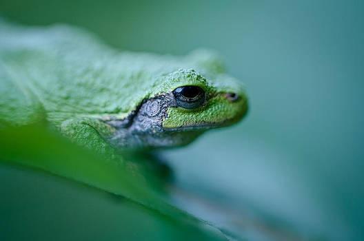 Gray Tree Frog by Dave Weth