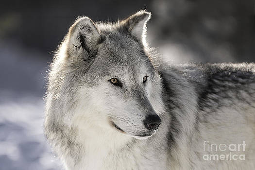 Animals - Gray Wolf by Feryal Faye Berber