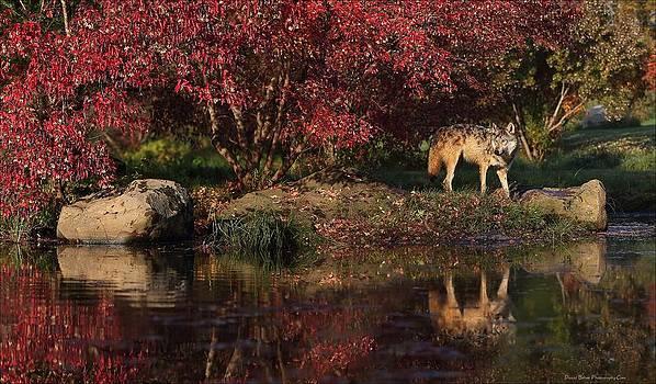 Gray Wolf in Autumn by Daniel Behm