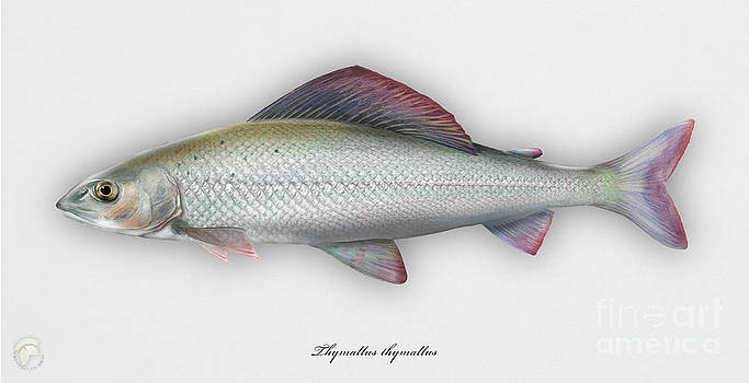 Grayling - Thymallus thymallus - Ombre commun - Harjus - flyfishing - trout waters - trout creek by Urft Valley Art