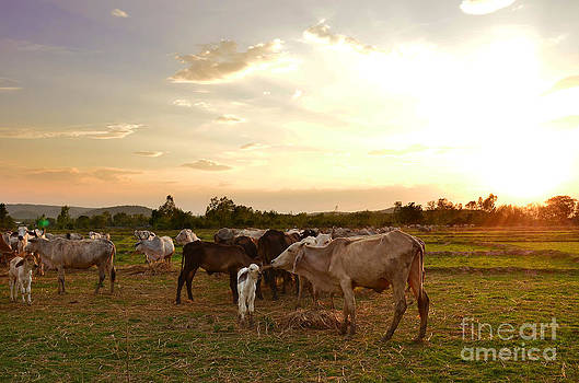 Grazing Cows by Jeng Suntorn niamwhan