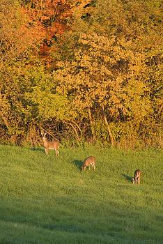 Devinder Sangha - Grazing Deer