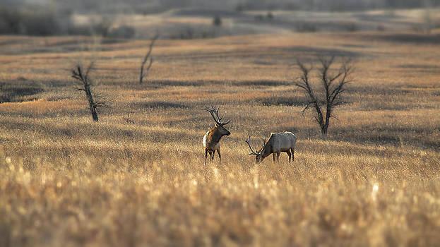 Grazing Elk by Garett Gabriel