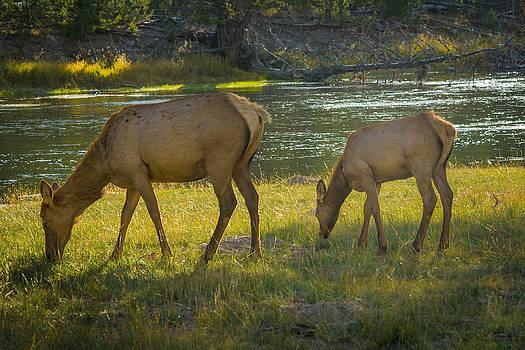 Roger Mullenhour - Grazing Elk