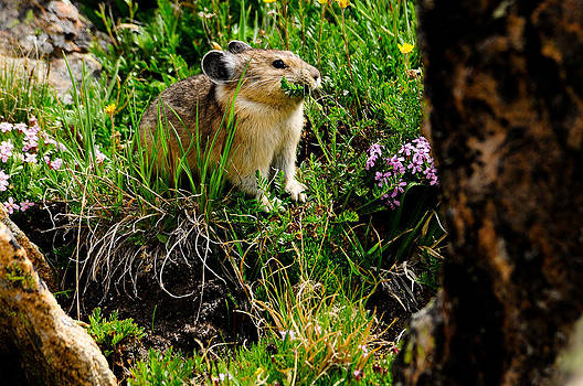 Grazing Pika by Don and Bonnie Fink