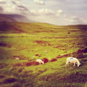 Grazing sheep by Alex Nagle