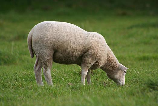 Dreamland Media - Grazing Sheep