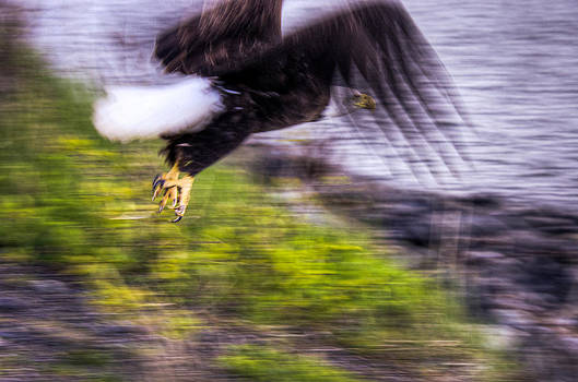 Great American Bald Eagle in Flight Homer Alaska by Natasha Bishop