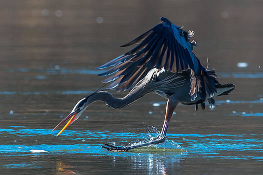Great Blue after Fish by Mike Watts