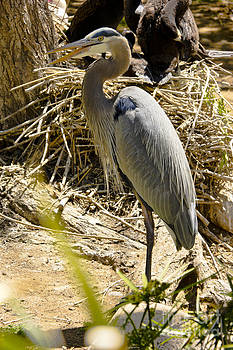 Great Blue Heron 1 by David Doucot
