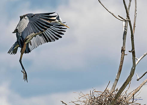 Great Blue Heron Approaching Nest by Stephen  Johnson