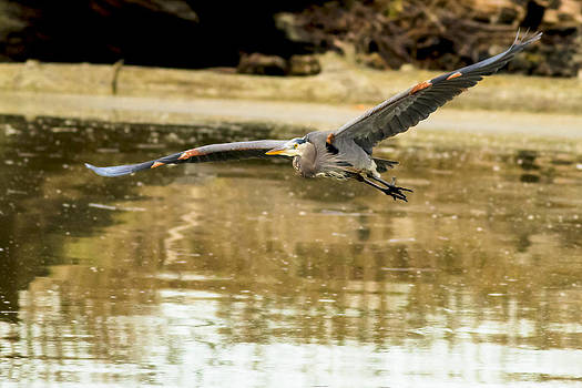 Great Blue Heron at Fir Island by Daryl Hanauer