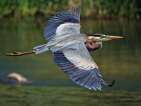 Great Blue Heron at the South Platte River by Stephen  Johnson