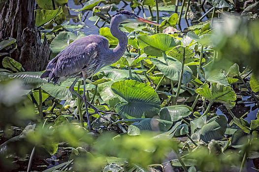 Great Blue Heron by Bill Boehm