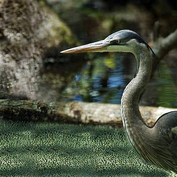 Great Blue Heron by Bill LITTELL