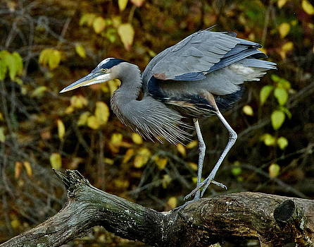 Great Blue Heron by Bruce Colin