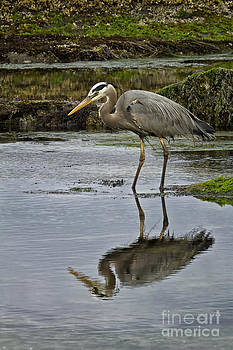 Great Blue Heron by Carrie Cranwill