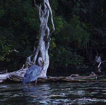 Rosemarie E Seppala - Great Blue Heron Catching His Dinner