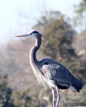 Great Blue Heron by Catherine Sprague