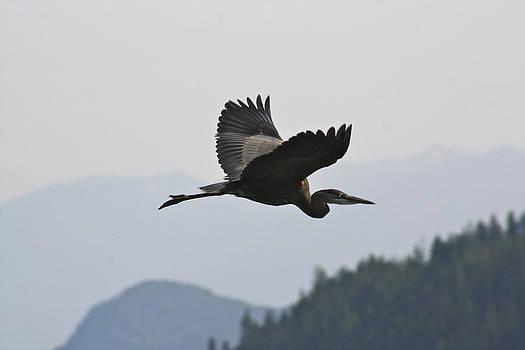 Cathie Douglas - Great Blue Heron