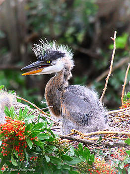 Barbara Bowen - Great Blue Heron chick