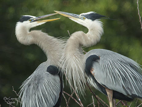 Dee Carpenter - Great Blue Heron Couple
