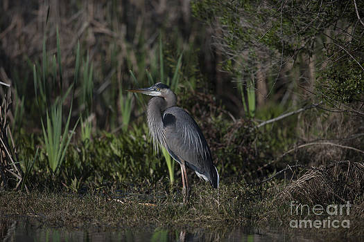 Dale Powell - Great Blue Heron