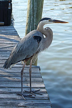 Carmen Del Valle - Great Blue Heron Delight 2