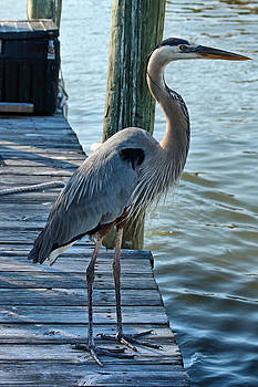 Great Blue Heron Delight 3 by Carmen Del Valle