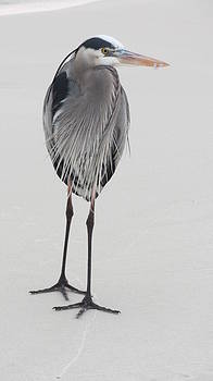 Great Blue Heron by Denise   Hoff