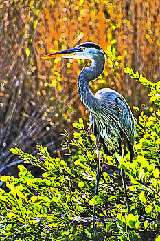Dennis Cox - Great Blue Heron