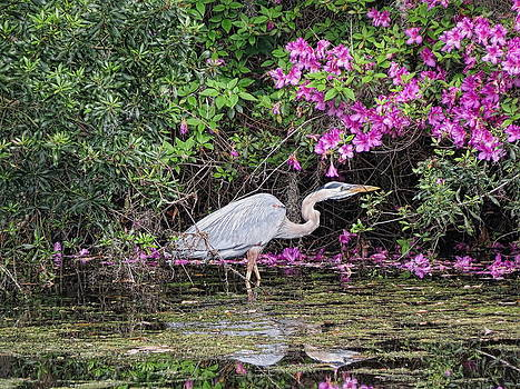 Great Blue Heron by Don Margulis