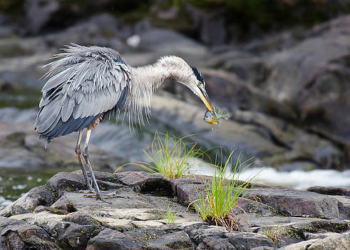 Great Blue Heron fishing by Daniel Forget