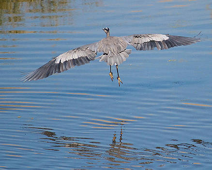 Great Blue Heron Flying Away by Steve Kaye