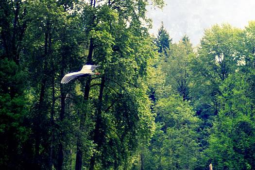 Great Blue Heron Flying Past the trees Above Trojan Pond 2 by Dawna Morton