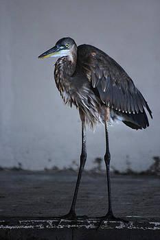 Great Blue Heron by George Ferreira