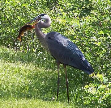 Great Blue Heron Grabs A Meal by Christina Shaskus