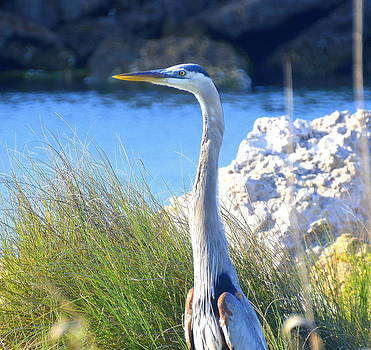 Linda Rae Cuthbertson - Great Blue Heron in Marsh
